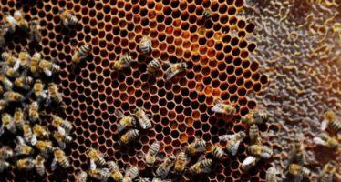 Harvard demuestra que pesticidas neonicotinoides de Bayer están matando abejas melíferas