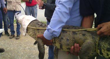 Aseguran cocodrilo capturado en una casa en Nuevo León que se escapó de cautiverio en campo de golf
