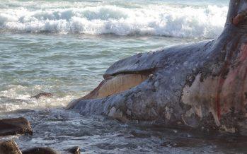 Ballena aparece muerta en playa frente a Popotla
