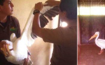 Liberan pelícano blanco americano (Pelecanus onocrotalus) en Tamaulipas