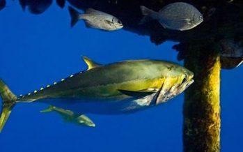 Pone en marcha SAGARPA Plan de Manejo Pesquero para el atún aleta amarilla del Golfo de México
