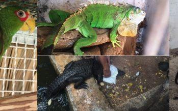 Asegura PROFEPA 5 ejemplares de vida silvestre y remite a sujeto a MPF, en Quintana Roo