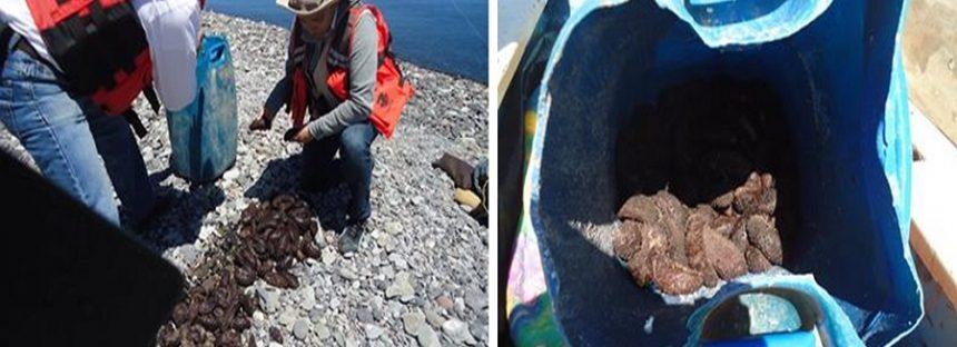 Detienen a 4 por traficar ilegalmente con pepino de mar en Baja California