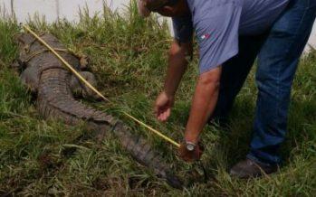 En Tabasco, rescatan de una alcantarilla un cocodrilo (Crocodylus moreletii ) de tres metros