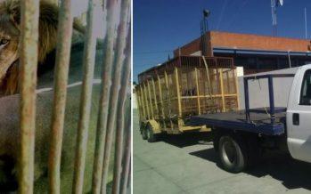 En regla felinos del circo Los Óscares que se confinaron  un criadero en Puebla