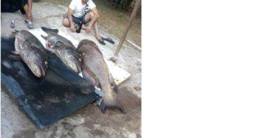 ¡Alerta en el Golfo de California!: Pesca furtiva de garropa (Mycteroperca jordani) con pistola neumática