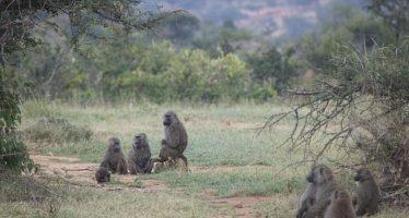 La democracia de los babuinos