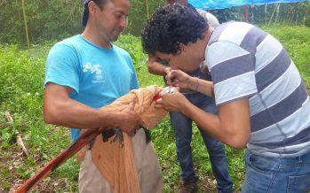 Marcaje de guacamayas rojas en santuario para diferenciar individuos