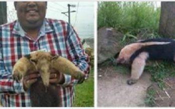 Aseguran piel de oso hormiguero (Tamandua mexicana) exhibida por Facebook