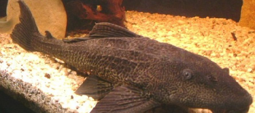 Los peces diablo – Biodiversitas