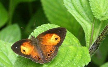 Científicos españoles obtienen el atlas genético de las mariposas ibéricas