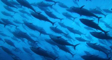 Asumen productores mexicanos compromiso con la sustentabilidad de la pesquería de atún aleta azul: CONAPESCA