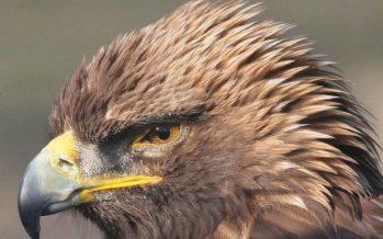 Avanza proyecto de decreto para proteger el desierto zacatecano, hábitat del águila real (Aquila chrysaetos)