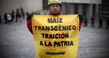 Greenpeace sostiene: La suspensión de siembra de maíz transgénico continúa, la lucha por la comida sana también