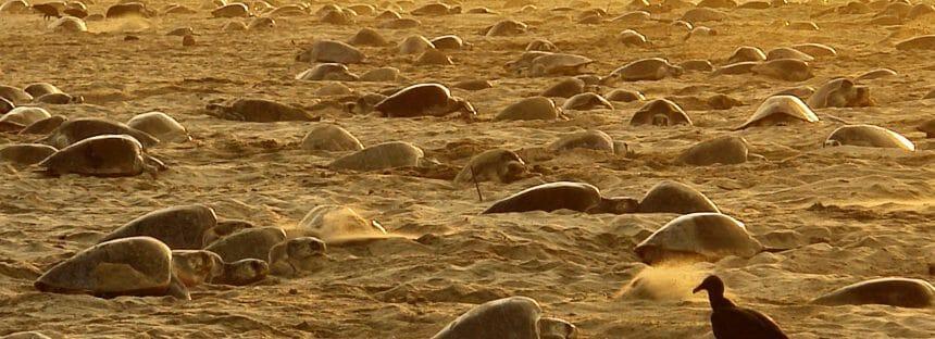 En la más reciente arribada de tortuga golfina (Lepidochelys olivacea) a la playa Escobilla, Oaxaca, llegan 45 mil hembras