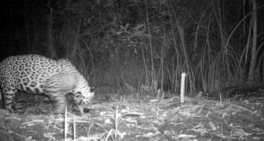 Registran científicos presencia de jaguar en los pantanos de Centla en Tabasco