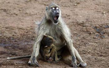 Hallados los fósiles de babuinos más antiguos