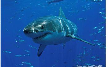 En marcha temporada 2015 para observación de tiburón blanco en Isla Guadalupe, Baja California