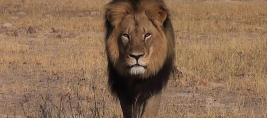 Un juguete del león 'Cecil' para recaudar fondos para la fauna silvestre