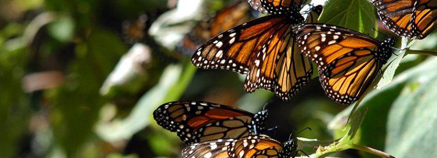 Preparan apertura de los santuarios para la temporada de hibernación de la mariposa monarca