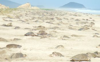 Tercera arribazón de tortuga golfina (Lepidochelys olivácea) en playas de Oaxaca