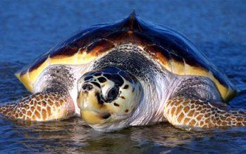 El gobierno de Estados Unidos (NOAA) certificó negativamente a México por captura incidental de la tortuga amarilla (Caretta caretta)