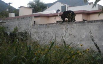 Libera PROFEPA oso capturado en casa – habitación en municipio de Monterrey, Nuevo León