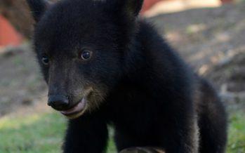 La Profepa libera a cuatro osos capturados en Nuevo León