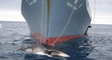 Matan a los primeros delfines en Japón; la caza durará seis meses