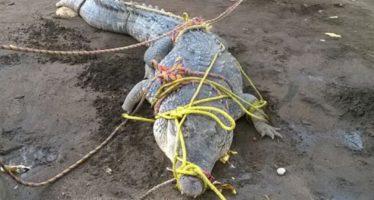 Atrapan cocodrilo en Mazatlán y a otro en Chiapas