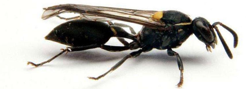 Encuentran una poderosa arma contra el cáncer en manos de las avispas sudamericanas
