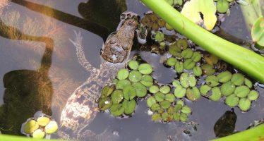 Se llevan acciones para repoblar especie de cocodrilo de pantano