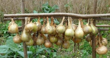 Cebollas ricas en zinc podría ser la clave contra la malnutrición mineral