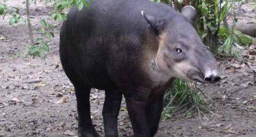 Zoológico de Chiapas logra avances en la conservación del tapir