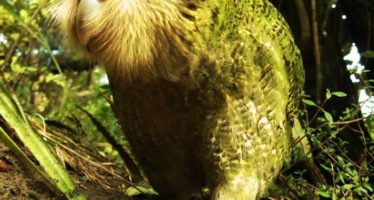 Kakapo, el loro que fue aislado para sobrevivir