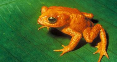 Rana considerada extinta se redescubre en Ecuador