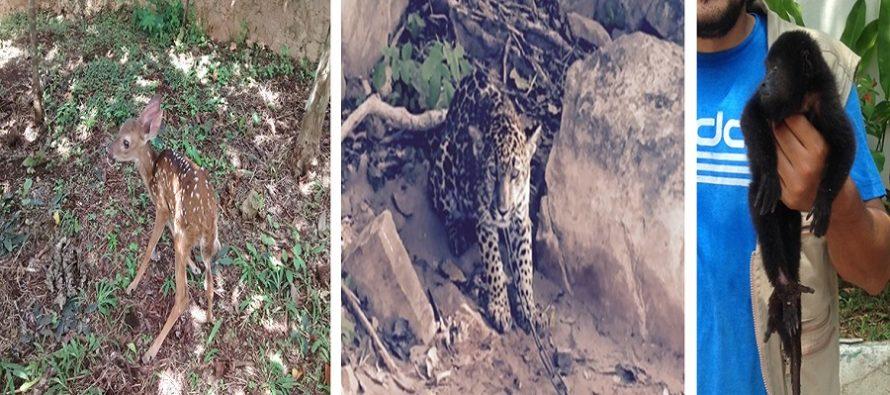 Asegura PROFEPA mono saraguato, jaguar y venado en 3 estados de la república