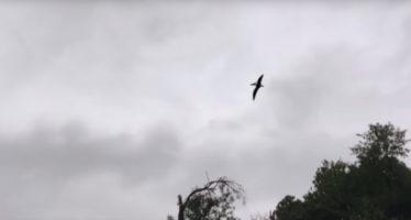 Graban a un 'pterodáctilo' sobrevolando Ohio