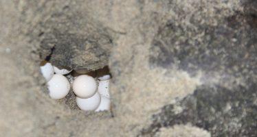 A la cárcel, saqueador oaxaqueño de huevo de tortuga golfina que tenía casi 4 mil huevos para venta