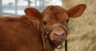 Los eurodiputados aprueban la prohibición de la clonación de animales