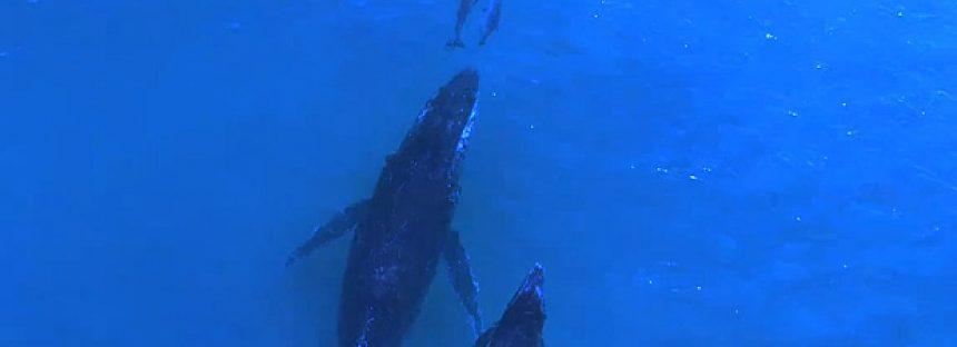 Ballenas y delfines nadando juntos