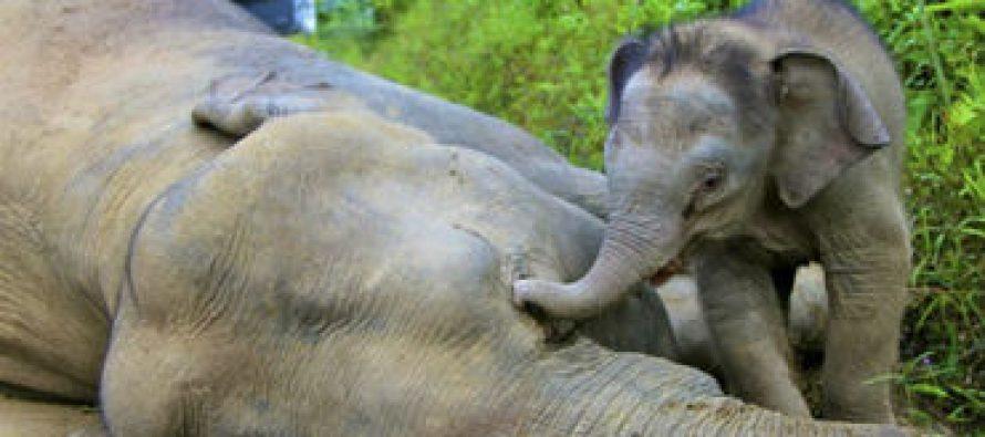 Mueren 22 elefantes envenenados en Zimbabue