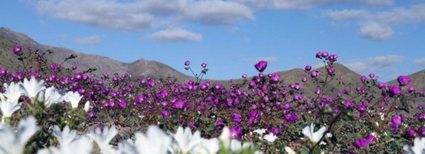 Inusual manto de flores tapiza el desierto más árido del mundo