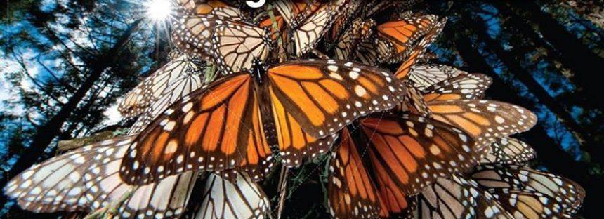 Más de 200 millones de mariposas llegan a Michoacán