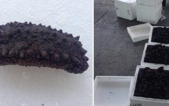 Aseguran 214 kilos de pepino de mar en la aduana de Tijuana