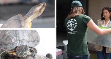 Rescatan 20 tortugas en mal estado físico