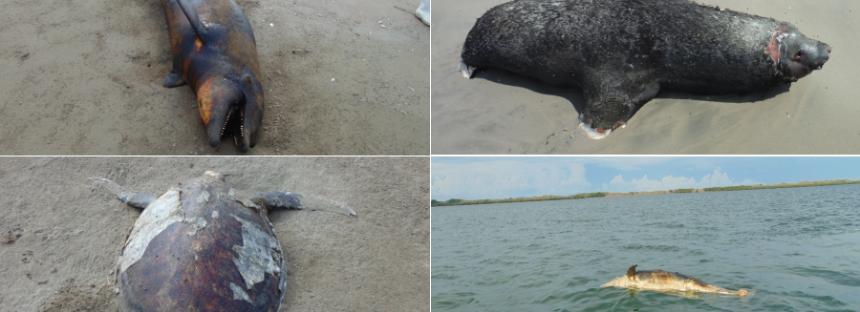 Se toman medidas en atención al varamientos de mamíferos marinos, en Sinaloa