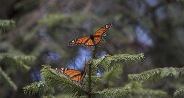 A partir de hoy abiertos santuarios de la mariposa monarca