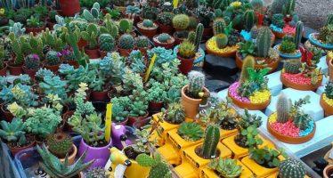Cactus, entre las especies más amenazadas del planeta por comercio ilegal: UICN