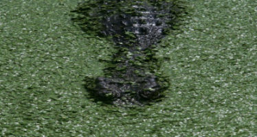 """""""El Niño"""" puede provocar una lenta agonía a los cocodrilos australianos"""